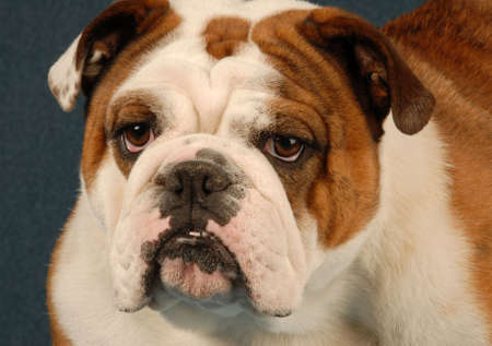 english bulldog female - red brindle and white - purebred champion 스톡 콘텐츠