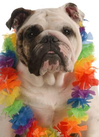 english bulldog dressed up wearing hawaiian lei