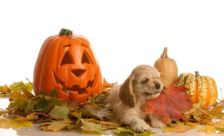 cocker spaniel puppy playing in autumn scene Stock Photo