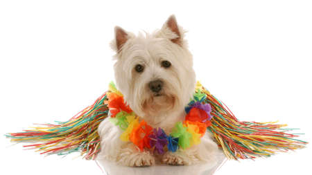 west highland white terrier dressed up as a hula dancer Stock Photo