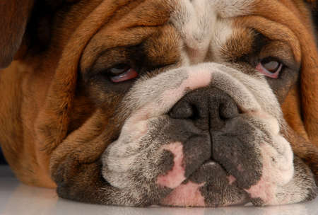 close up of ugly english bulldog with sad droopy eyes