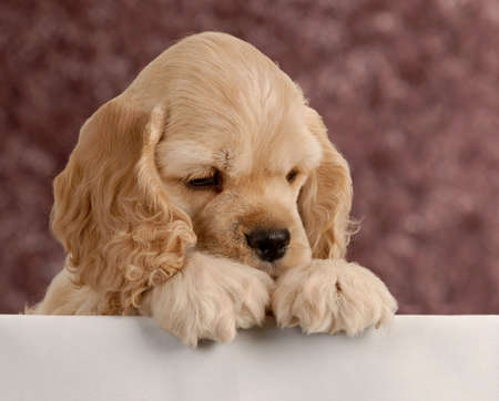 american cocker spaniel puppy with paws over white foreground Stock Photo