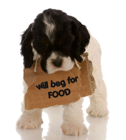 dog begging for food - american cocker spaniel puppy with sign around neck