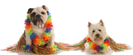 dancing dogs - english bulldog and west highland white terrier dressed up as hula dancers