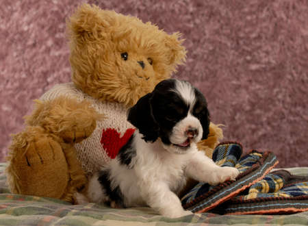 american cocker spaniel puppy with slippers and teddy bear