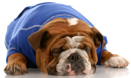 Engels bulldog dragen blauwe trui slapen op witte achtergrond