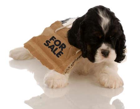 Amerikaanse Cocker Spaniel puppy met te koop bord rond hals