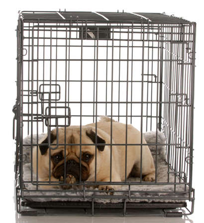 pug in a wire crate isolated on white background