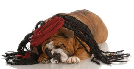 english bulldog dressed up as a pirate Stock Photo - 5585411