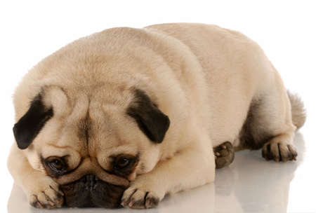 adorable pug with sad expression laying down 스톡 콘텐츠