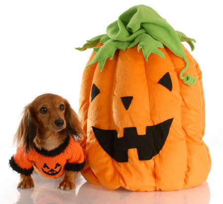 long haired dachshund dressed up with halloween pumpkin Stock Photo