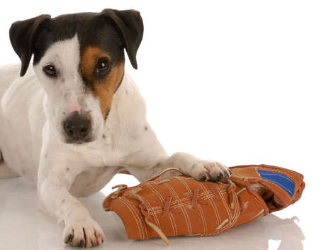 playful dog - jack russel terrier laying beside baseball glove Stock Photo - 5709200