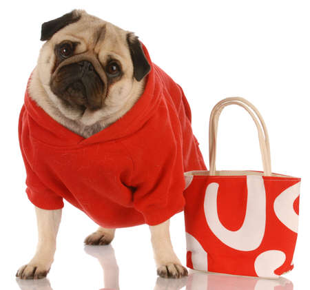pug wearing red sweater standing beside fashionable red purse Stock fotó - 5740755