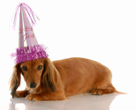 miniature long haired dachshund dog wearing birthday girl hat Banco de Imagens