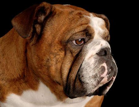 Retrato de bulldog de inglés brindle rojo sobre fondo negro  Foto de archivo - 5792939