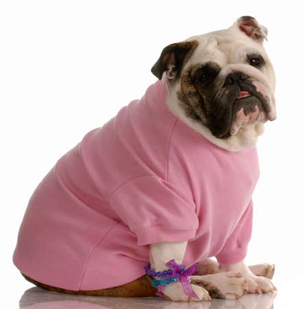 adorable english bulldog dressed up as a girl Stock Photo - 5792933