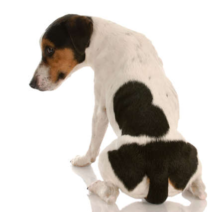 smooth coat tri-colored jack russel terrier with back to viewer and guilty expression Imagens