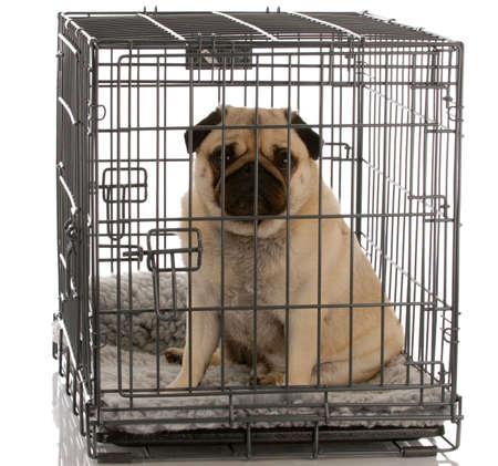 Pug assis dans une caisse de chien de fils donnant un afficheur