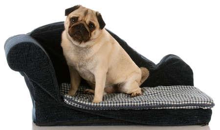 Pug dog zittend op een bank blue dog  Stockfoto