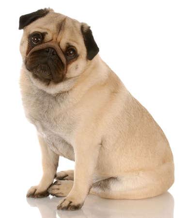 Fawn Mops Hund sitzend mit Reflektion auf weißen Hintergrund Standard-Bild