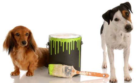 bad dog - dachshund and jack russel terrier with paint can Imagens