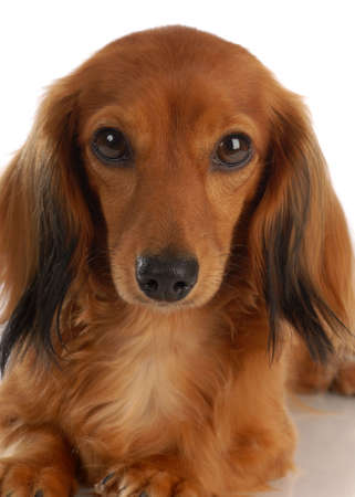 long haired miniature dachshund on white background Stock Photo