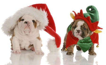 four week old english bulldog puppies dressed up as santa and an elf Banco de Imagens