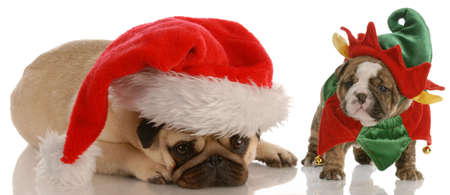 santas helpers - pug dressed as santa and english bulldog puppy dressed as elf Stock Photo