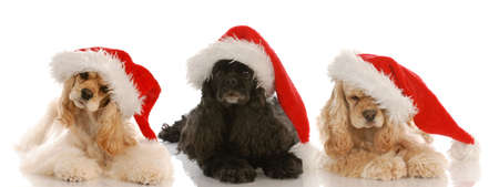 three cocker spaniels wearing santa hats on white background
