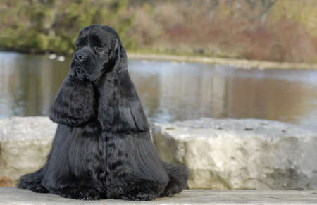 american cocker spaniel sitting by river - champion bloodlines