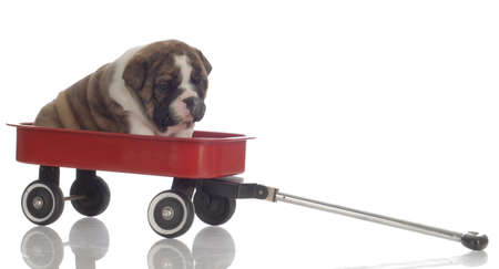 english bulldog puppy sitting in red wagon - 4 weeks old