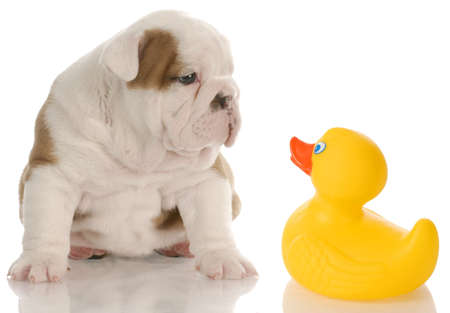 dog bath time - english bulldog puppy sitting beside a yellow rubber duck - 4 weeks old 写真素材