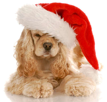 american cocker spaniel laying down wearing santa hat with reflection on white background