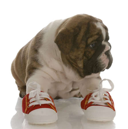 english bulldog puppy wearing running shoes with reflection on white background