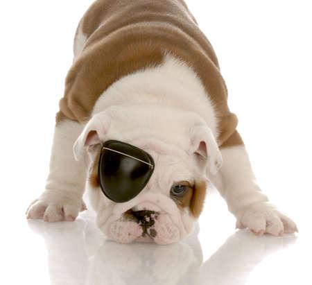 Englisch Bulldogge Welpen eine Augenklappe tragen