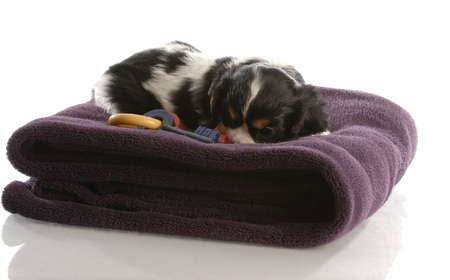 cavalier king charles puppy playing on purple blanket - six weeks old photo