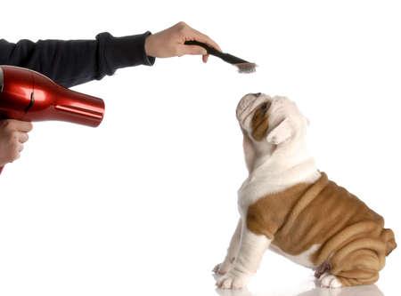 grooming: dog grooming - hands brushing nine week old english bulldog