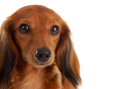 miniature long haired dachshund head portrait - on white background Stock Photo - 6189932