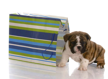 adorable english bulldog puppy sitting beside a colorful gift bag Stock Photo - 6189946