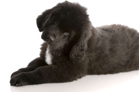 newfoundland puppy laying down - twelve weeks old photo