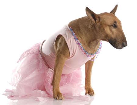 female bull terrier dressed up in a ballerina tutu photo