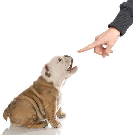 english bulldog puppy barking at finger reprimanding photo