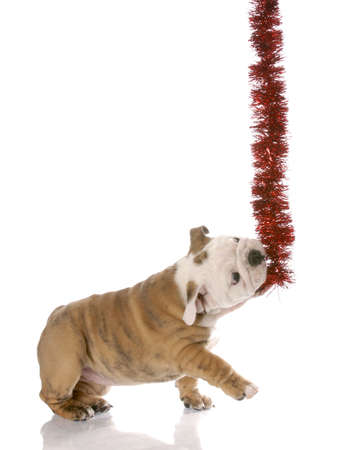 english bulldog puppy pulling on red garland Stock Photo - 6189919