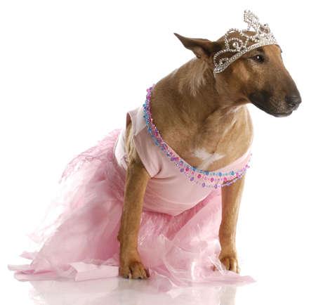 female bull terrier dressed up in ballerina tutu photo
