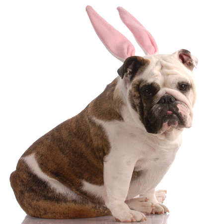 english bulldog wearing pink rabbit ears with reflection on white background photo