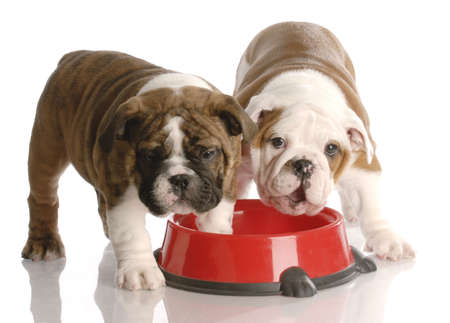 old english: two nine week old english bulldogs puppies and a red dog food dish