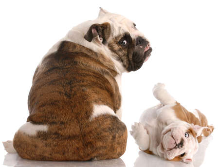 two english bulldogs stretching to look at the viewer photo