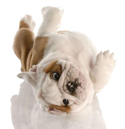 nine week old english bulldog puppy rolling on his back 스톡 콘텐츠