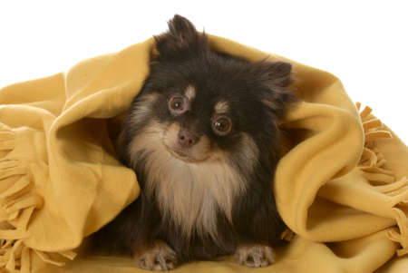 brown and tan pomeranian puppy hiding under yellow blanket