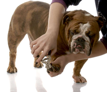 person cutting english bulldog toenails on white background photo